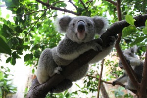 Zoo Dresden: Koala Mullaya