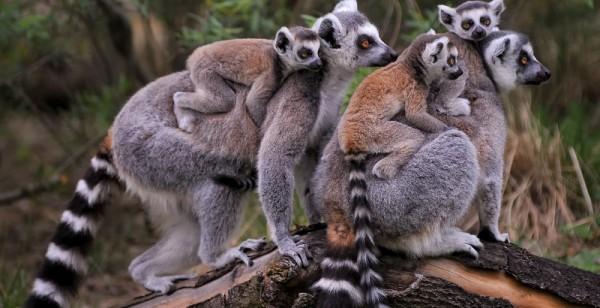 Neuzugänge für die Lemuren-Insel geplant: Dresdner Zoo hat Kattas abgegeben